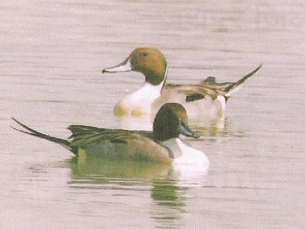 Jashpur photos, BadalKhole Abhyaran - Pintail birds