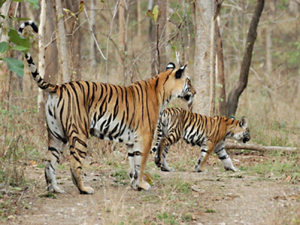 Bilaspur photos, Achanakmar Wildlife sanctuary - Tiger