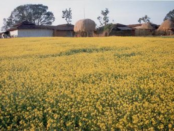 Surguja photos, Mustard Field