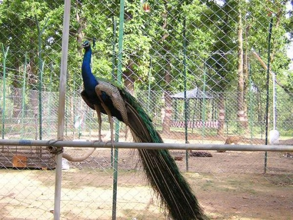 Surguja photos, Peacock