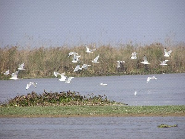 Ferozepur photos, Harike Wetland - Migratory birds from Siberia and Arctic