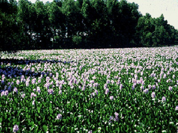 Ferozepur photos, Harike Wetland - Hyacinth