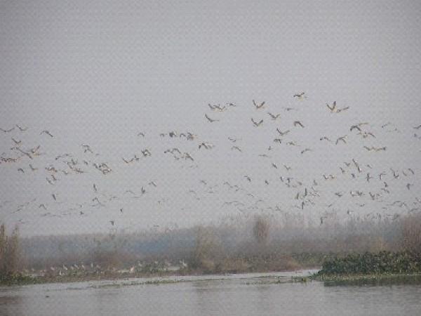 Ferozepur photos, Harike Wetland - Migratory Birds