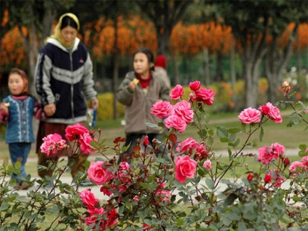 Chandigarh photos, Rose Garden - Pink Roses in Rose Garden