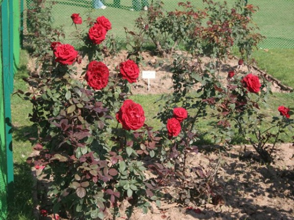 Chandigarh photos, Rose Garden - A view of garden