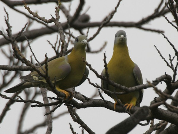 Gurgaon photos, Sultanpur Bird Sanctuary - Yellow-footed Green Pigeons