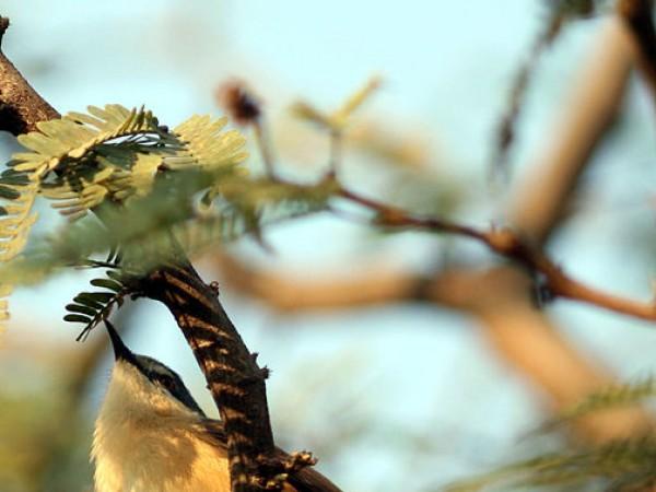 குர்கான் புகைப்படங்கள் - கிழக்கு ஓர்பியன் பாடும் பறவை