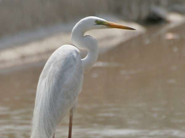 Gurgaon photos, Sultanpur Bird Sanctuary - The Great Egret