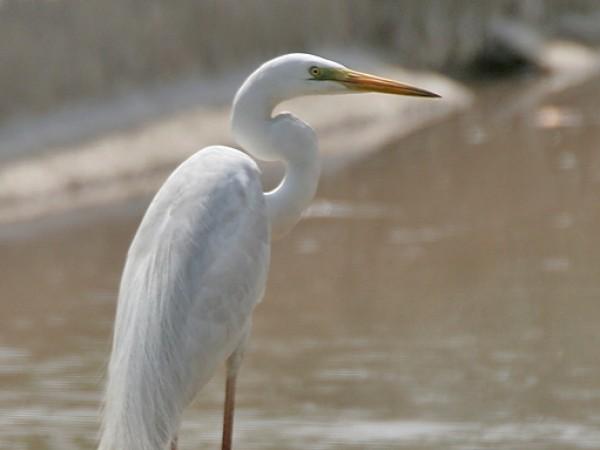 Gurgaon photos, Sultanpur Bird Sanctuary - The Great Egret