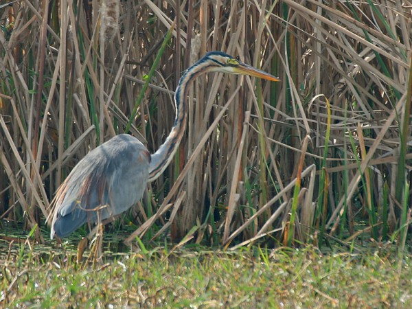 Gurgaon photos, Sultanpur Bird Sanctuary - Purple Heron
