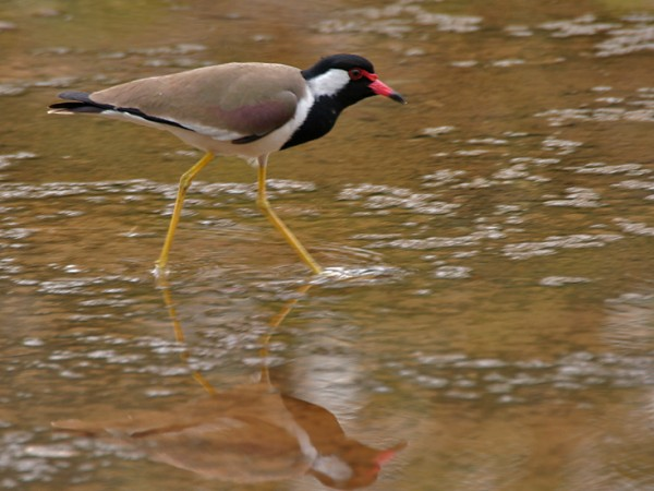 Gurgaon photos, Sultanpur Bird Sanctuary - Red Lapwing