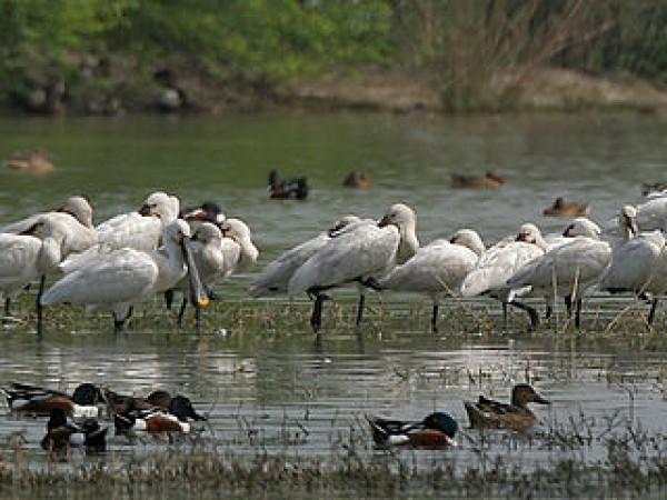Gurgaon photos, Sultanpur Bird Sanctuary - Spoonbills