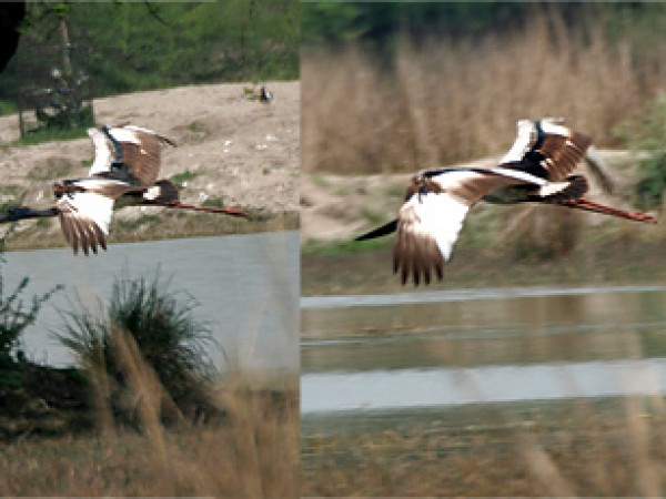 Gurgaon photos, Sultanpur Bird Sanctuary - Black-necked Stork