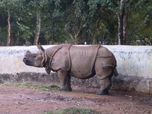 Bhubaneshwar photos, Nandankanan Zoo - A Rhinoceros at the park