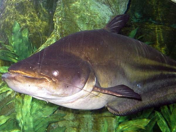 Chilika photos, Chilka Lake - Catfish