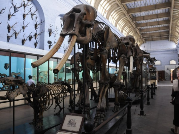 Kolkata photos, Indian Museum - A Skeleton of an Elephant