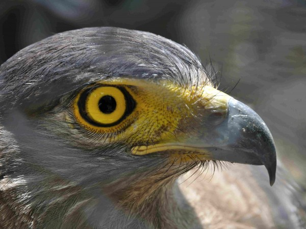 Kolkata photos, Alipore Zoo - The Eye of a Hawk