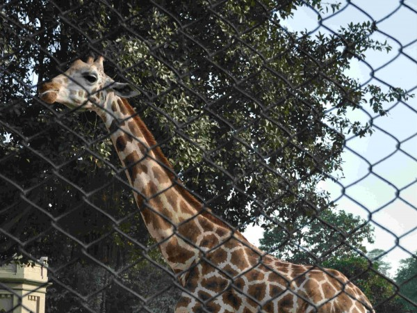 Kolkata photos, Alipore Zoo - A Giraffe at the Zoo