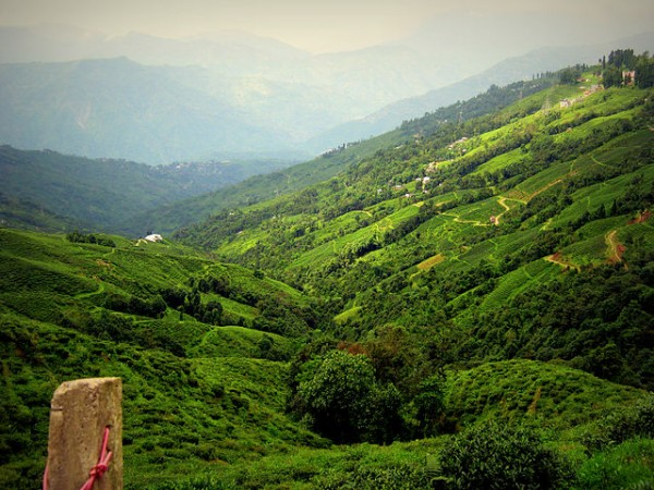 Darjeeling photos, Happy Valley Tea Estate - The lush green Tea Gardens