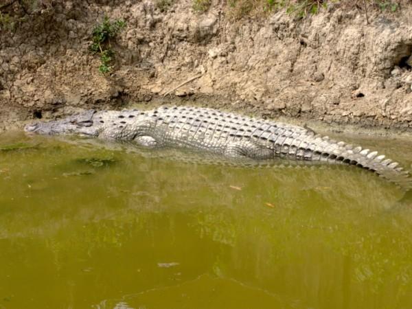 Sundarbans photos, Bhagabatpur Crocodile Project - A huge crocodile cools itself on the banks of the river