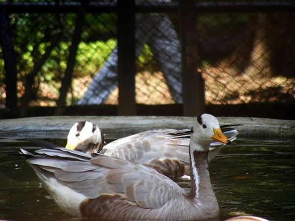 Patna photos, Patna Zoo - Swans