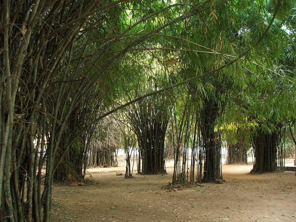 Rajgir photos, Venu Vana - Bamboo Forest