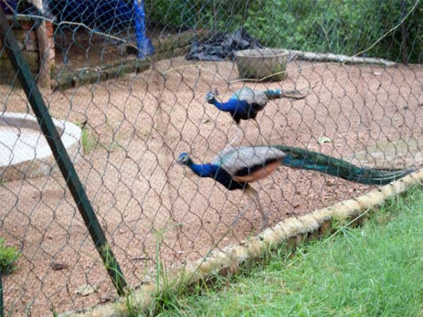 Durgapur photos, Peacocks