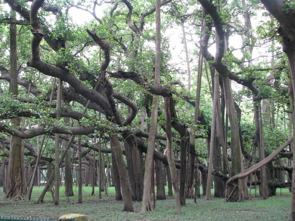 Howrah photos, Indian Botanical Gardens - Banyan Tree