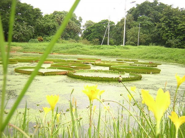Howrah photos, Indian Botanical Gardens - Water Lilies