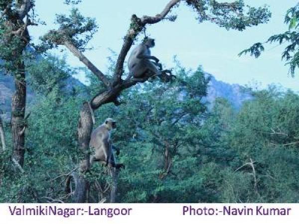 West Champaran photos, Valmiki National Park - Langoor