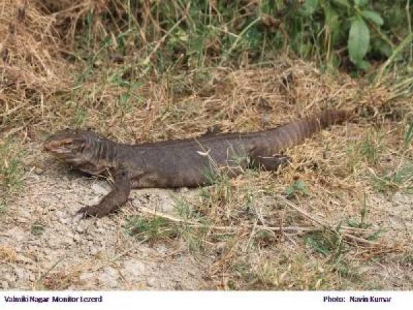 West Champaran photos, Valmiki National Park - Lezard