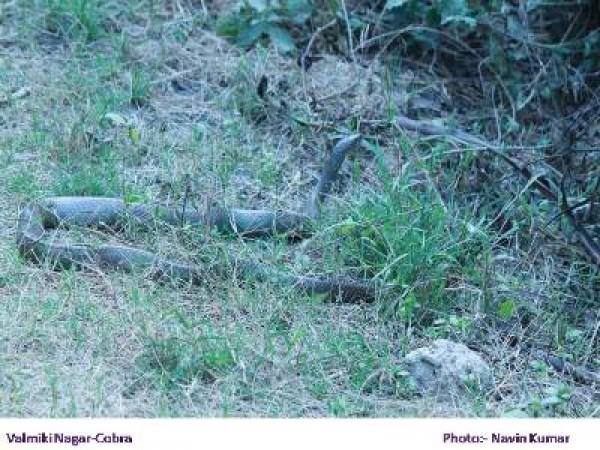 West Champaran photos, Valmiki National Park - Snake
