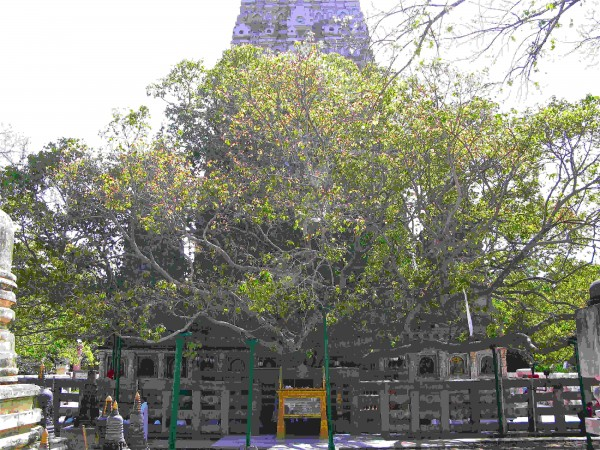 Bodh Gaya photos, Bodhi Tree - Bodhgaya tree