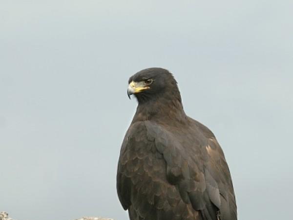 Bishnupur photos, Keibul Lamjao National Park - Black Eagle