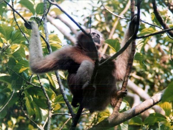 Bishnupur photos, Keibul Lamjao National Park - Gibbon