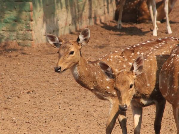 Bhubaneswar photos, Nandankanan Zoo - Deers