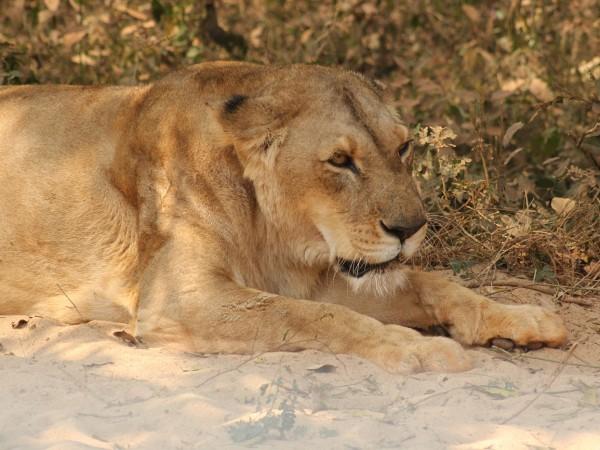 Bhubaneswar photos, Nandankanan Zoo - Lioness
