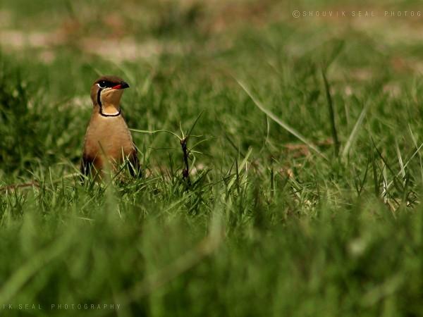 Chilka photos, Mangalajodi Bird Sanctuary - IMG_5959