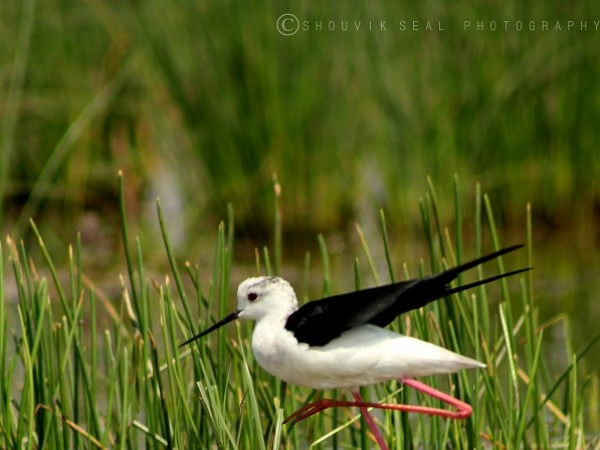 Chilka photos, Mangalajodi Bird Sanctuary - Black-winged Stilt