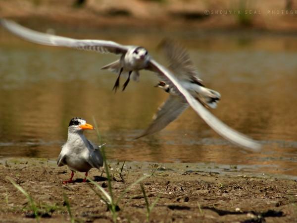 Chilka photos, Mangalajodi Bird Sanctuary - common Gull
