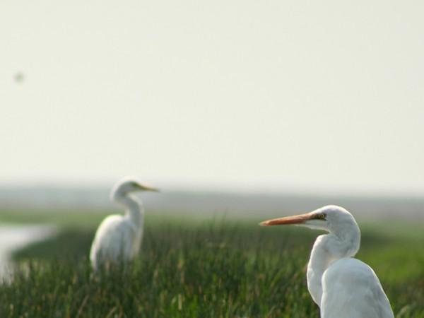 Chilka photos, Mangalajodi Bird Sanctuary - IMG_5304