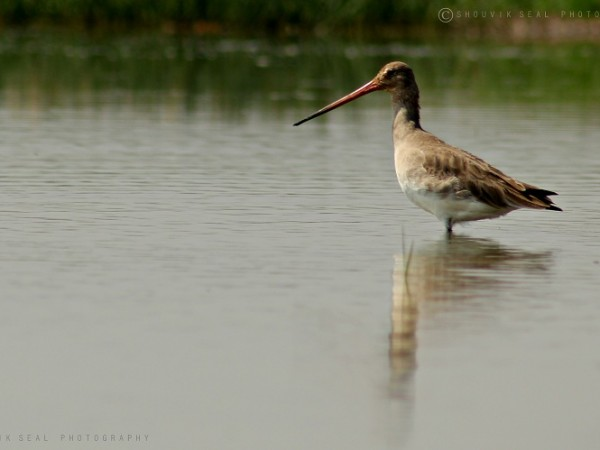 Chilka photos, Mangalajodi Bird Sanctuary - IMG_5338