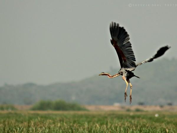 Chilka photos, Mangalajodi Bird Sanctuary - IMG_5759
