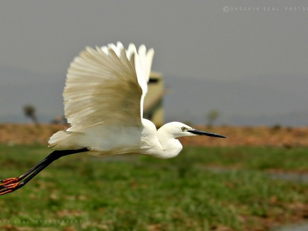Chilka photos, Mangalajodi Bird Sanctuary - IMG_5926