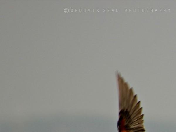 Chilka photos, Mangalajodi Bird Sanctuary - IMG_5934