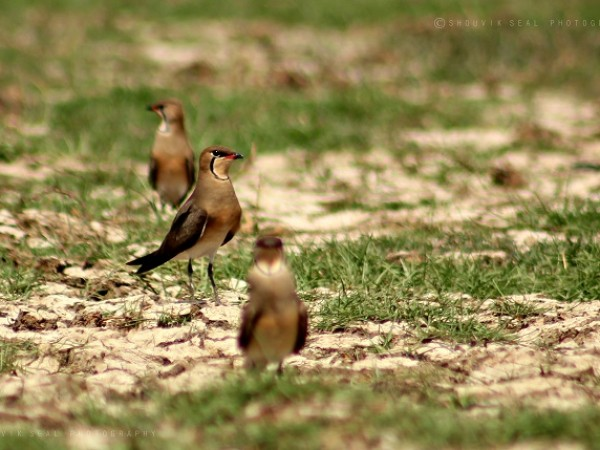 Chilka photos, Mangalajodi Bird Sanctuary - IMG_6018