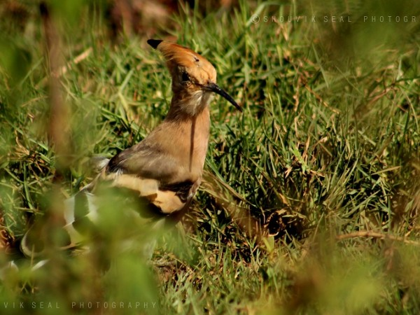 Chilka photos, Mangalajodi Bird Sanctuary - IMG_6602
