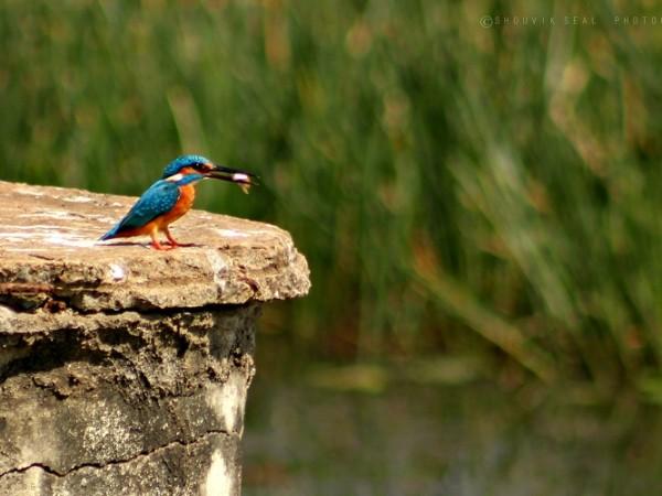 Chilka photos, Mangalajodi Bird Sanctuary - Indian Kingfisher