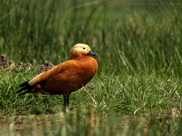 Chilka photos, Mangalajodi Bird Sanctuary - Ruddy Shelduck