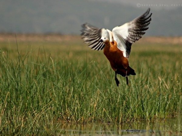Chilka photos, Mangalajodi Bird Sanctuary - Ruddy Shelduck at Flight